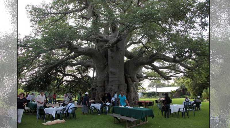 This 6000 Year Old Hollowed Tree has a Bar Inside!