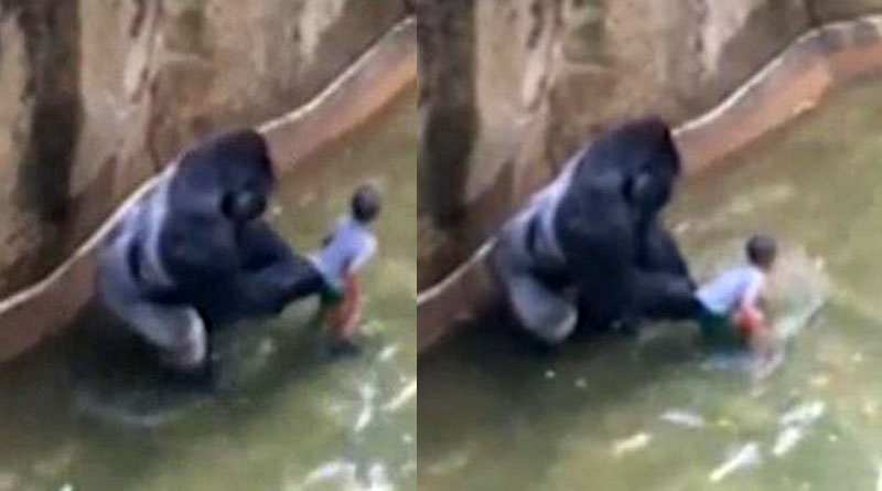 ohio-zoo-kills-gorilla-to-protect-small-child-in-enclosure