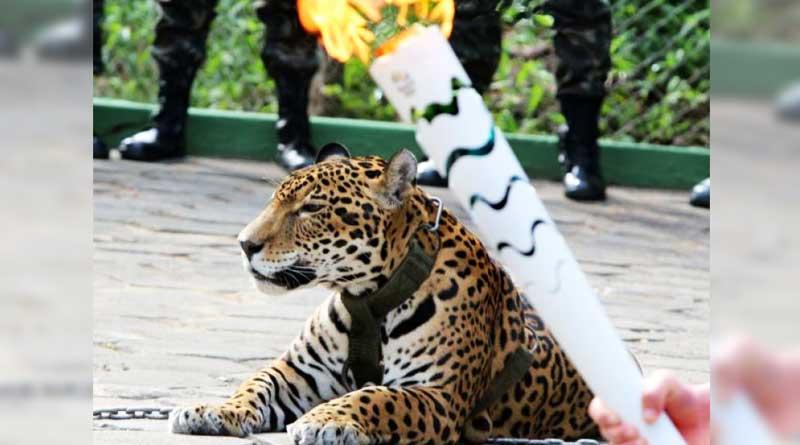 Jaguar shot dead after Olympic torch ceremony