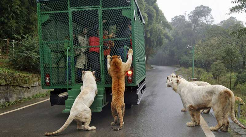 This Is China's Most Ferocious Zoo - Where People Are Caged And Animals Roam Free