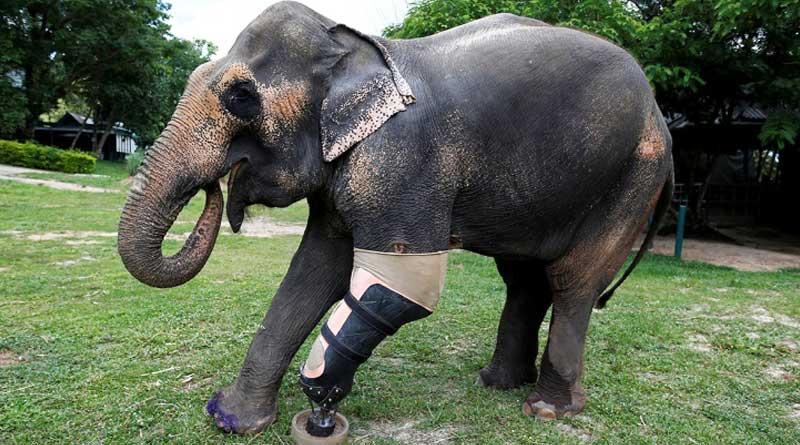 Elephant Braveheart Who Just Got Her Ninth Prosthetic Leg