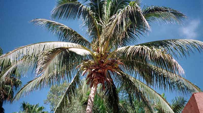 coconut-tree_web