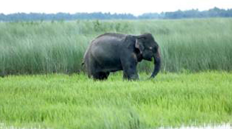 Two people died in three days by wild elephants in Durgapur
