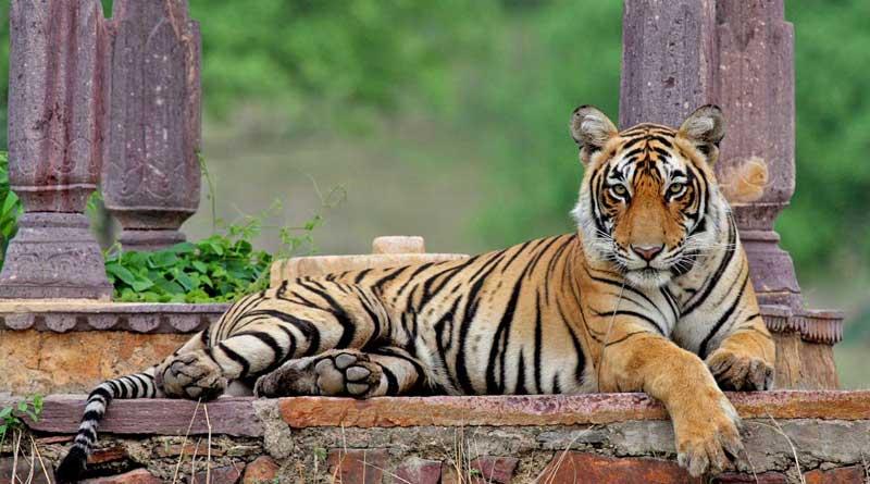 Jaldapara national park bringing tiger from assam
