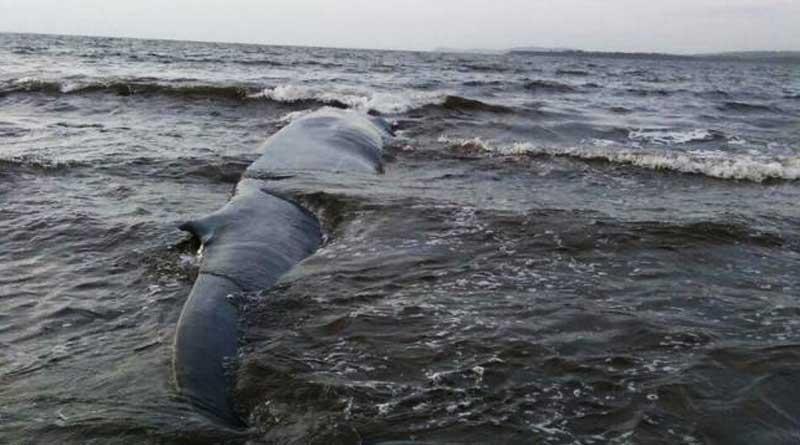 47 feet long Blue Whale rescued along Konkan Coast