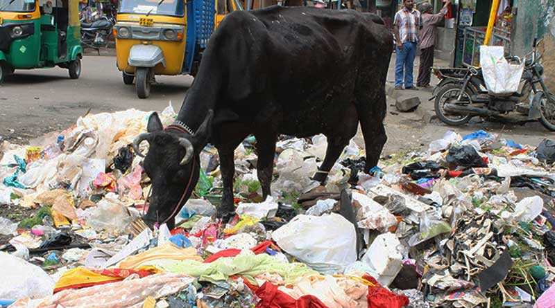 100 kgs of plastic and other waste found in the Stomach of a Cow