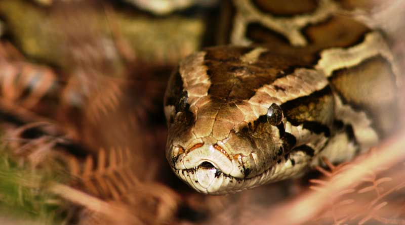 Man tries snapping Selfie with a Python. And then…
