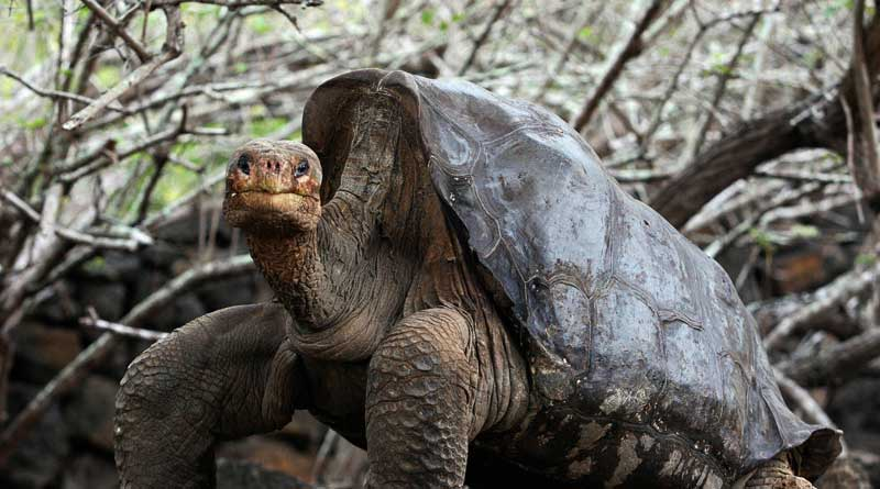 Entire species saved because of the sex-addiction of this Tortoise