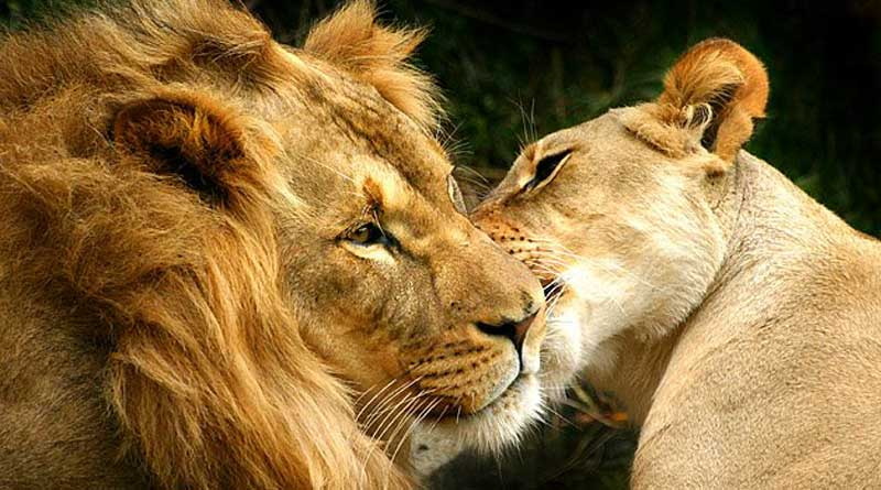 Chittagong zoo arranges a wedding party for lion and lioness