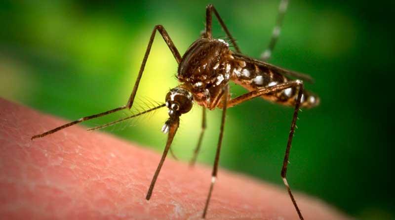 mosquito_web