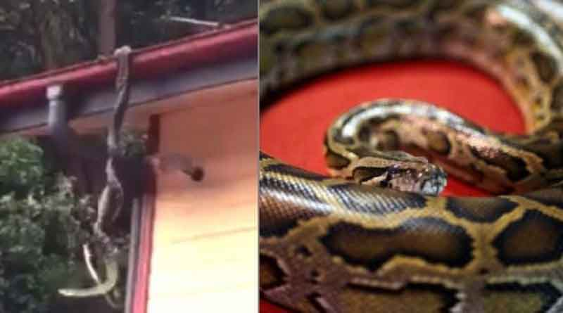 Family shocked to find pythons fighting on their roof