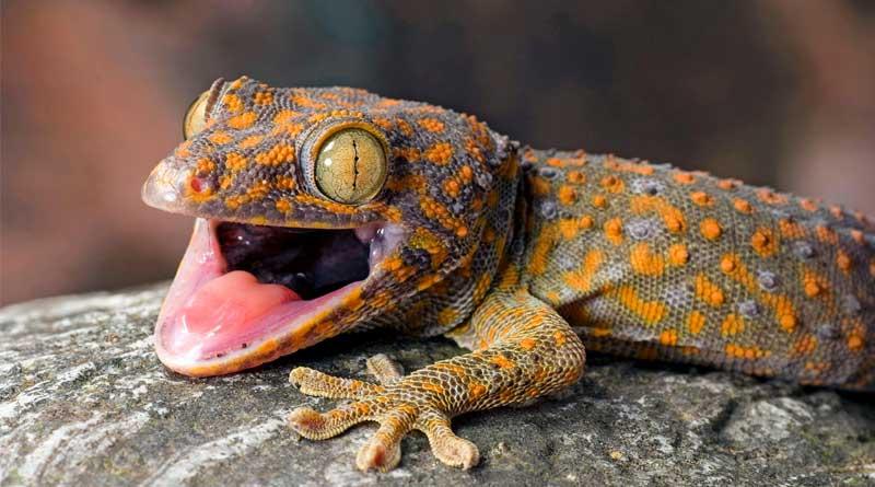KLO, ALFA, Jamaat terror groups behind the Gecko Poaching in North Bengal!