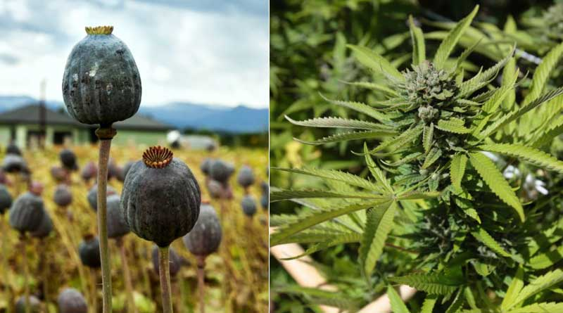 Bill to Legalise Marijuana and Opium can be discussed in Parliament soon