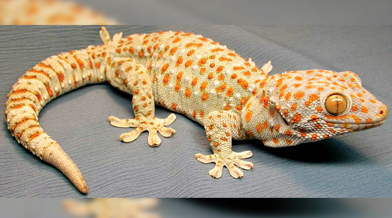 Gecko Smuggling On The Rise In North Bengal