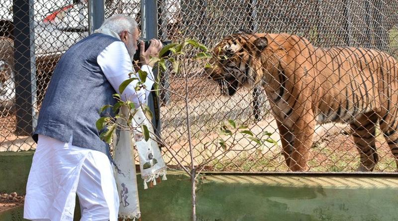 PM Modi Clicked images Of tigers During His Visit To nandan van Jungle Safari