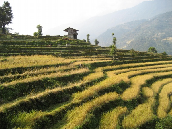 rice-paddy-in-berthang-4