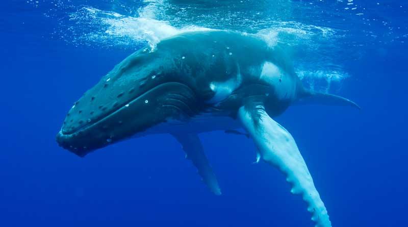 whale-vomit