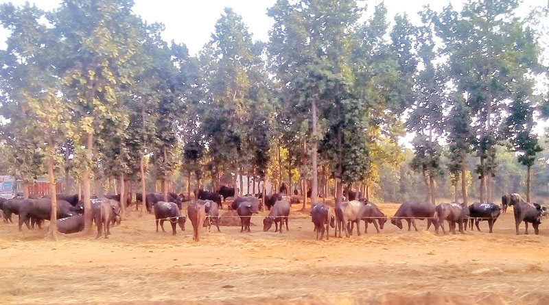 Buffaloes are sold in high rates to convert black money into white