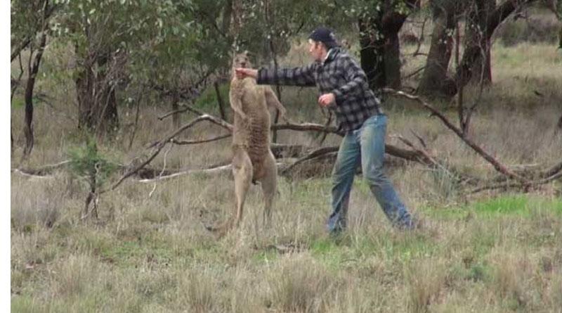 Man Punched Kangaroo To Rescue Dog