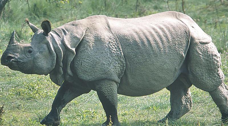 one horn rhinos are shifted from Jaldapara and Gorumara