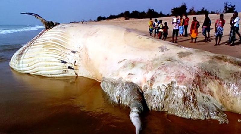 42 Foot dead whale found on Odisha Beach