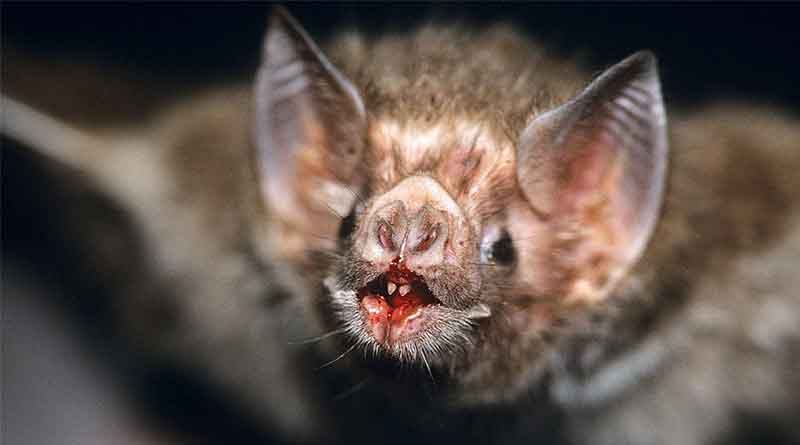 Vampire bats targeting humans for blood