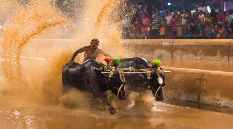 now-karnataka-wants-centre-to-lift-ban-on-buffalo-races_kambala