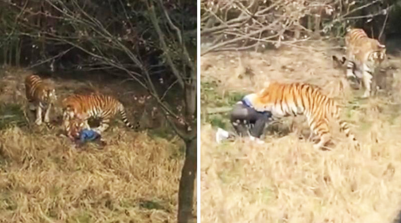 Tiger mauls man inside zoo in China, video goes viral