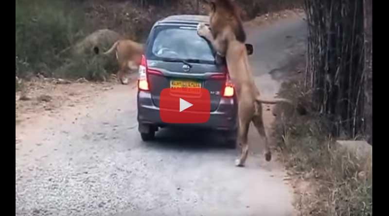 See how Lion attacks safari car in Bannerghatta Biological Park