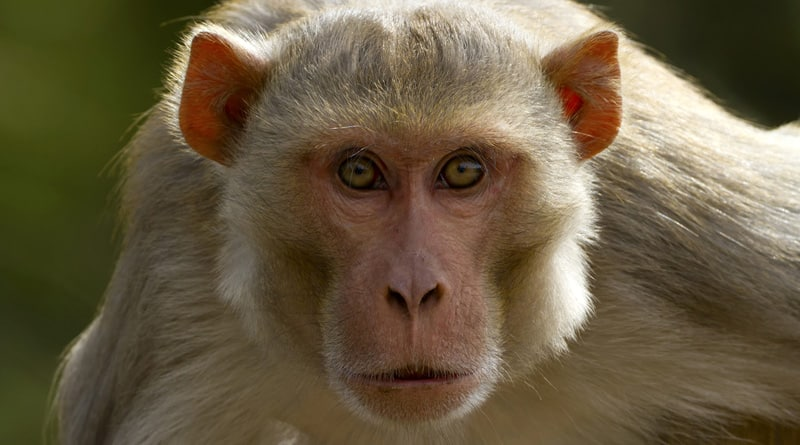 Monkey trouble: Kerala woman ends life by consuming acid