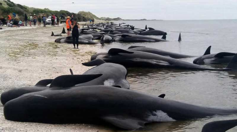 Over 400 whales washed ashore on New Zealand Beach
