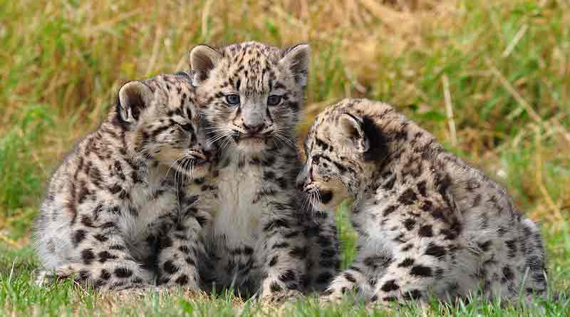leopard spotted at Odlabari tea estate