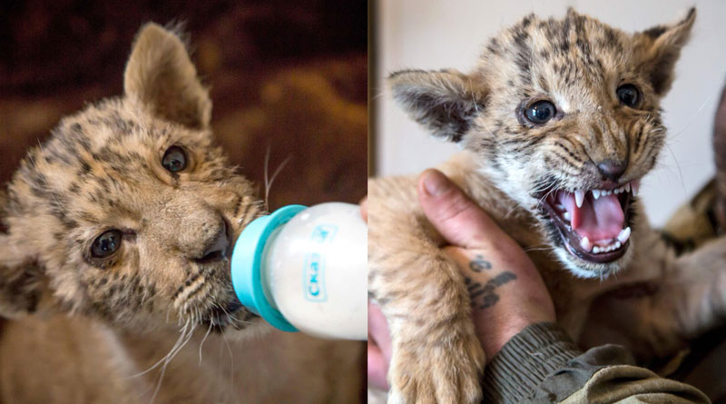 Russian Zoo welcomes baby Liger