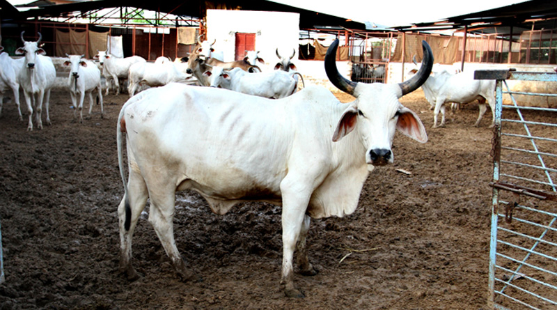 RSS to market cow urine made product online