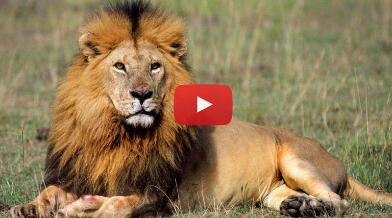 11 Lions crossed highway in Gujarat, astonished people