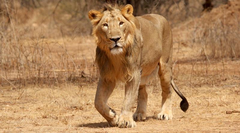 3 bikers held for chasing lions in Gujarat's Gir