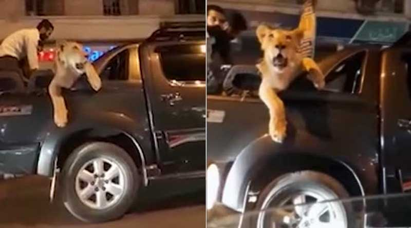 Pakistani man drives with lion through Karachi, arrested