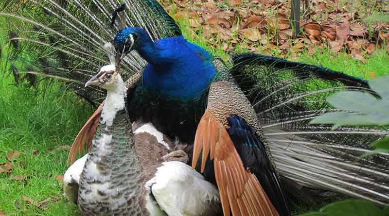 This is what Rajasthan High Court judge thinks about reproduction in Peacocks
