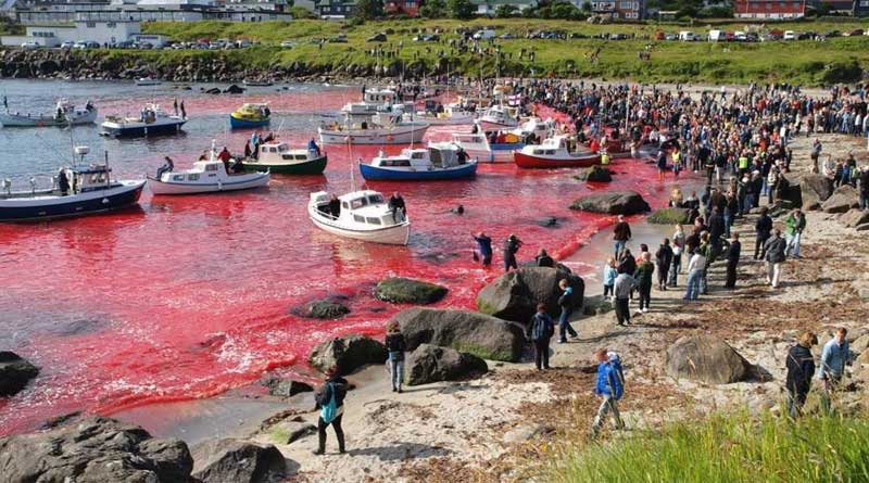 Whale slaughter turns sea red in Denmark, draws flak