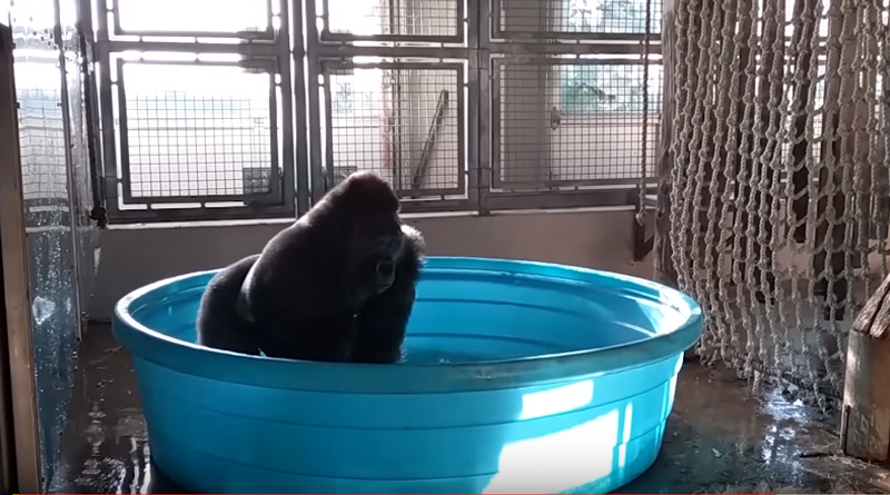 Dancing gorilla of Dallas Zoo is breaking the internet
