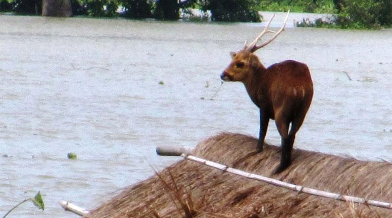 Devastating Assam flood,58 animals killed in Kaziranga