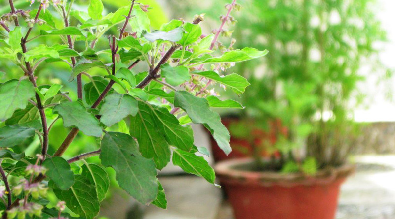 Tulsi tree in home