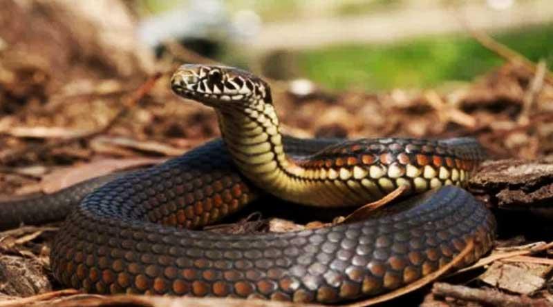 Watch spine-chilling moment Cobra swallows bird