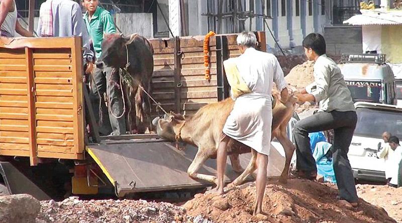 Cow Vigilantes Strike Again in Alwar, Gun Down Man Transporting Cattle