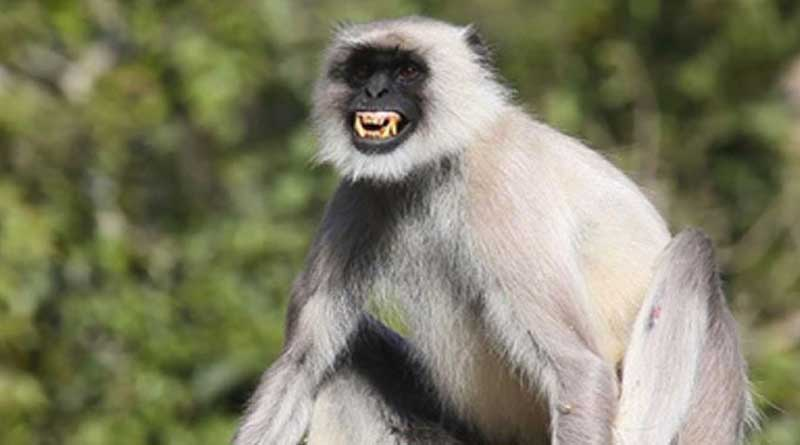 Monkey pushes woman to death in Nadia temple