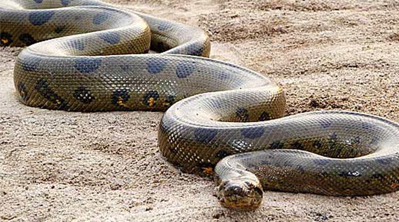 Alipore Zoo to get 4 anacondas in 2018