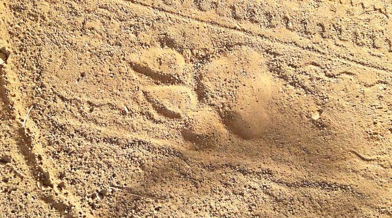 Pug mark sparks tiger scare in Jhargram's Lalgarh