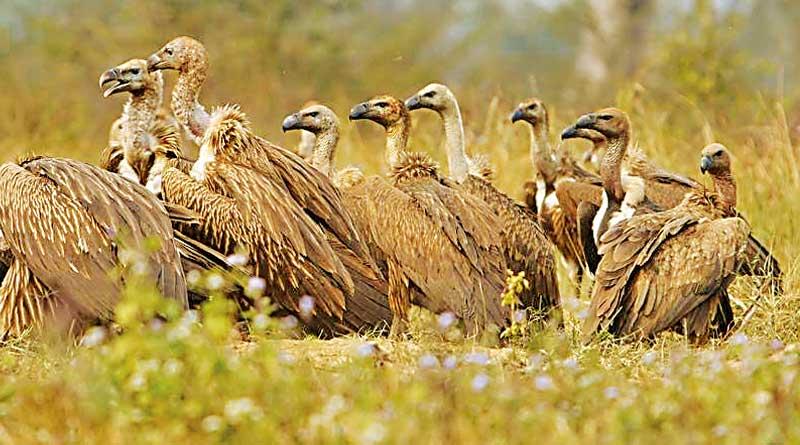Rajabhatkhawa--Vultures