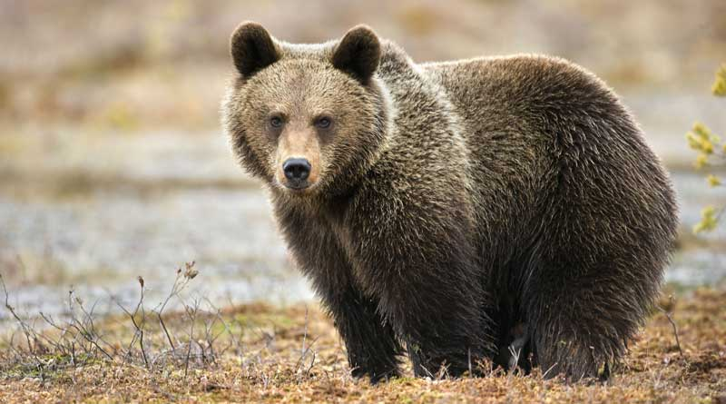 Duplicate bile of Bear Smuggled from North Bengal