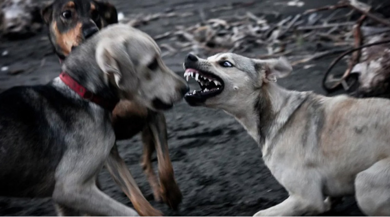 Meat scarcity forcing stray dogs to become violent: Experts